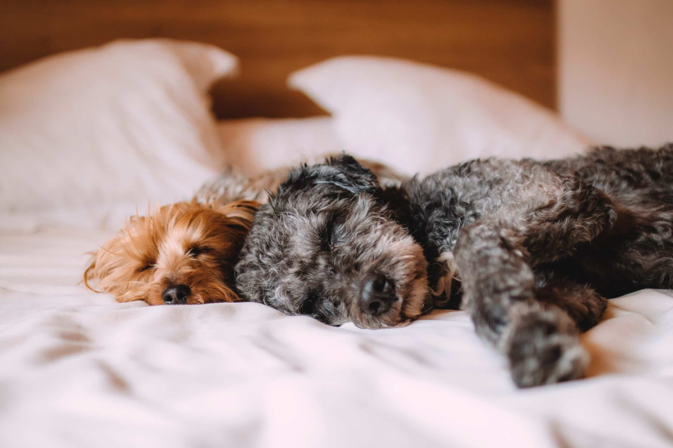 Pet Estate Planning with Siegel Law Group