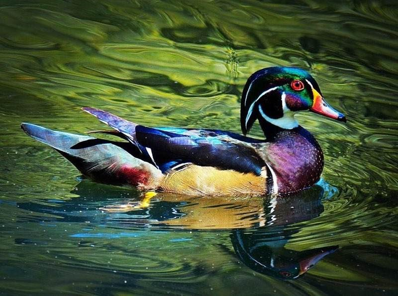 Wood Duck by Jane Dysert
