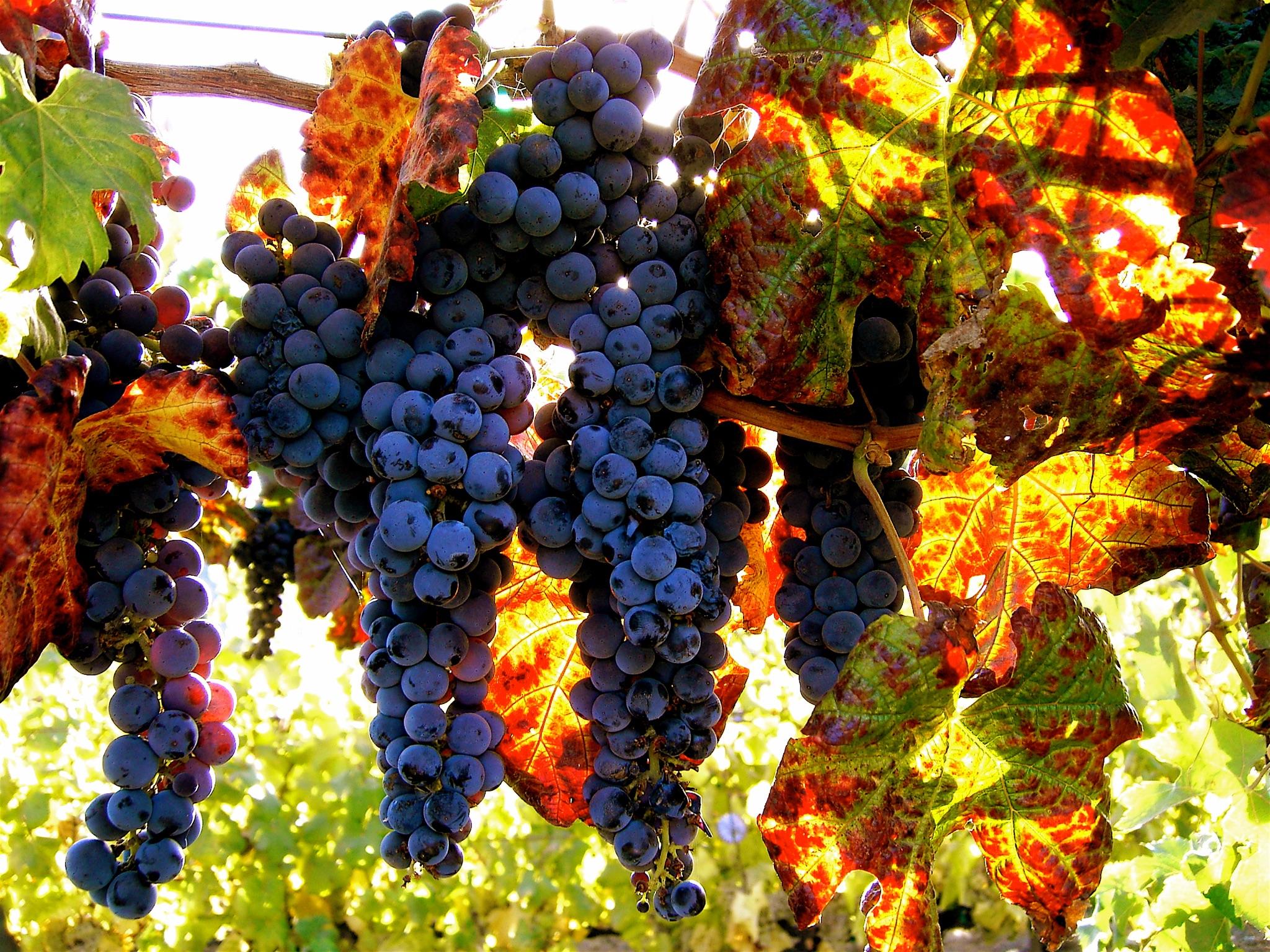 Avrea's Grapes