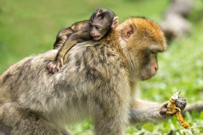 monkey pickles, funny articles, what do monkeys eat