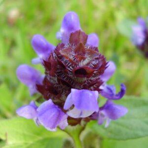 "Prunella vulgaris var. lanceolata (American Self-heal or American Heal-all) 3.5"""