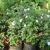 """Ruellia caroliniensis (Common Wild-petunia) 3.5"""""""