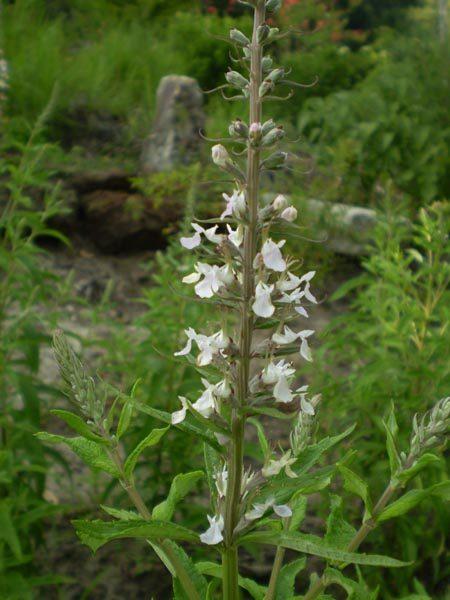 Teucrium canadense (Wood Sage or American Germander)