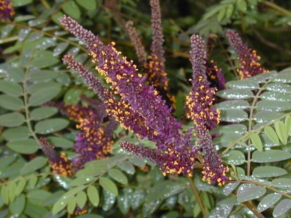 Amorpha fruticosa (Tall Indigo-bush)