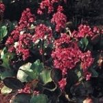 Bergenia Red Beauty