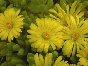Delasperma Yellow