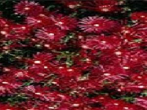 Delosperma Red
