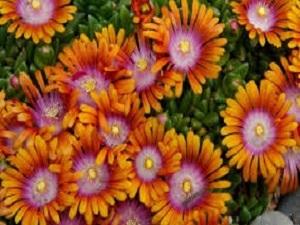 Delosperma Tricolor