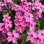 Phlox Drummon's Pink
