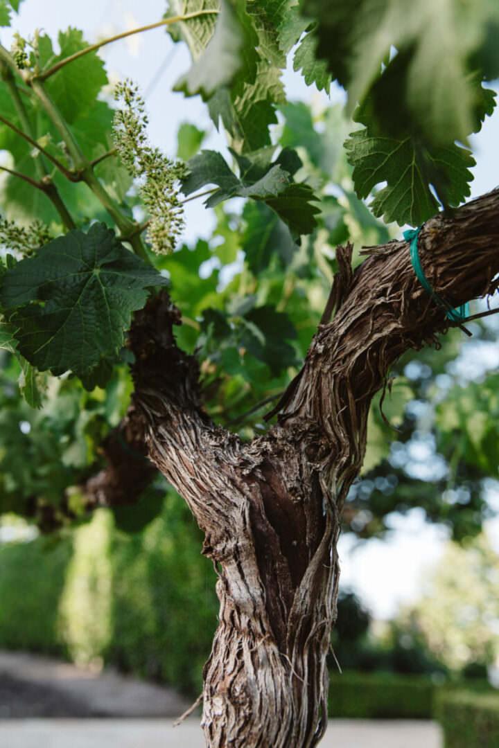 Young Grape Vines at Mizel