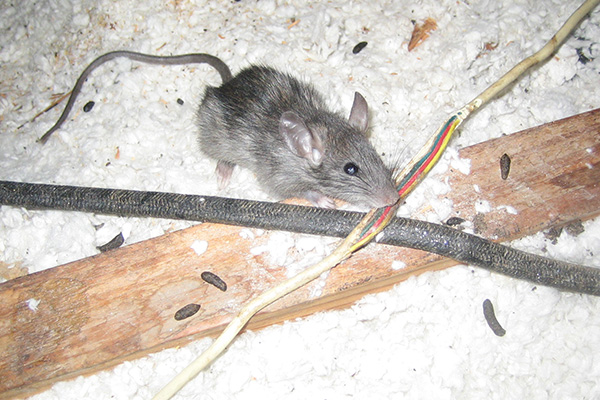 rodent chewing on electrical wire in attic