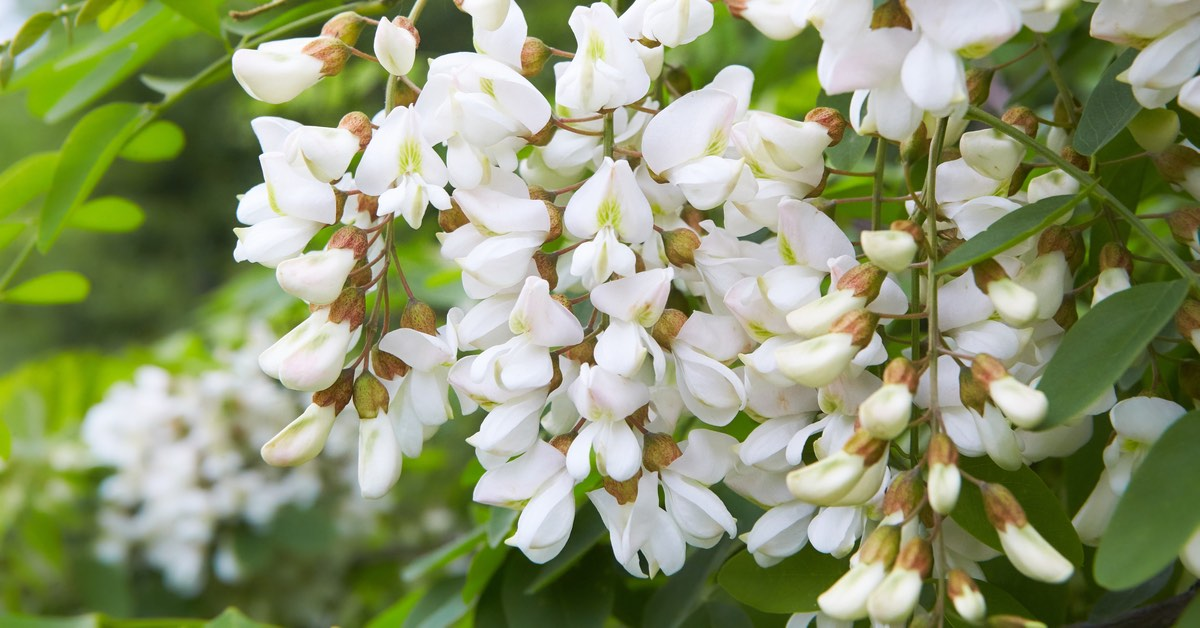 Best plants for Pool Waterfalls, Acacia