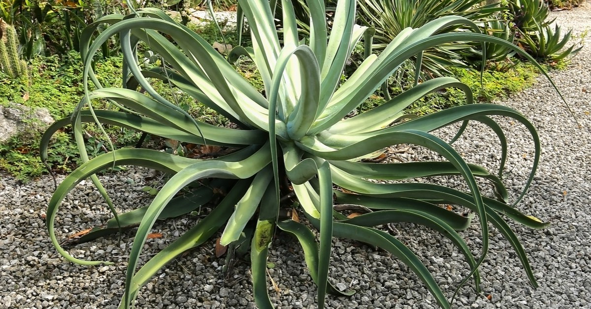 Best plants for Pool Waterfalls, Agave
