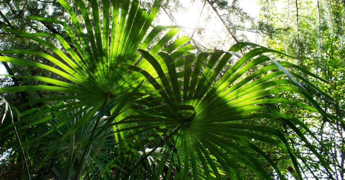 Best plants for Pool Waterfalls, Windmill Palm