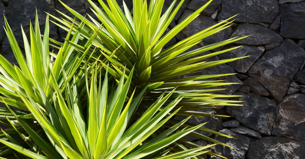 Best plants for Pool Waterfalls, Yucca