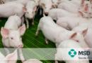 A interação entre a microbiota intestinal e a infecção por PCV2