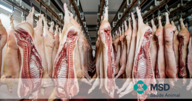 A infecção por Lawsonia intracellularis influencia no odor e qualidade da carne?