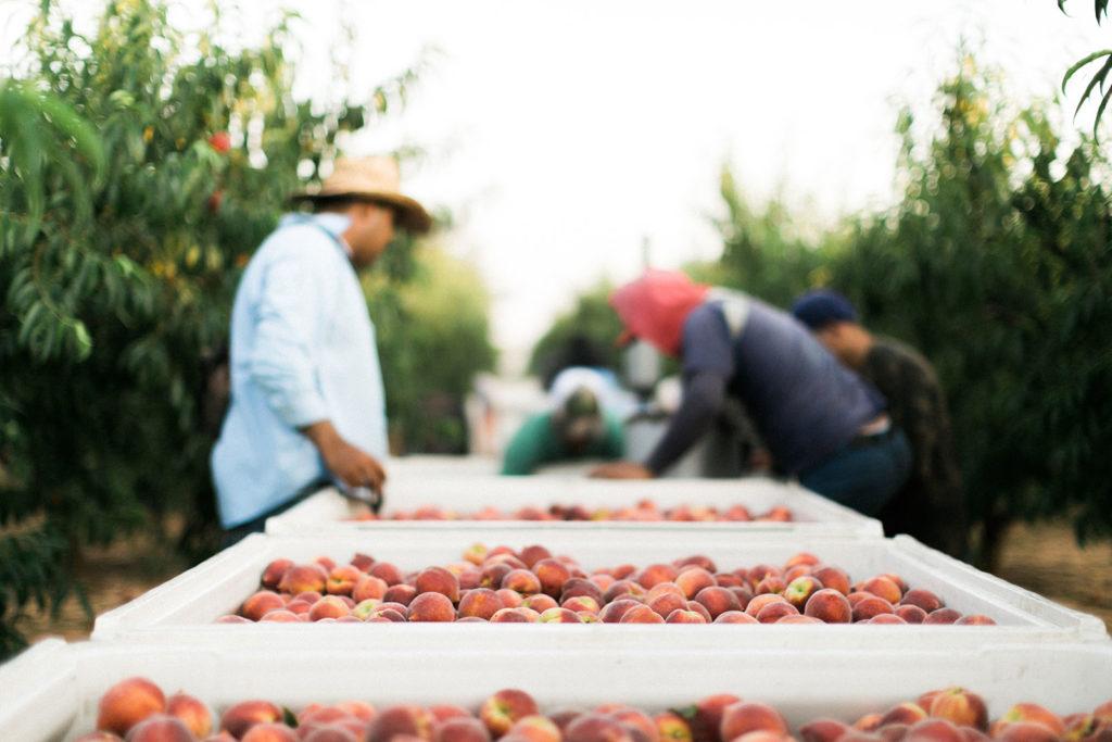 Georgia Farmers with peaches - The Peach Pelican