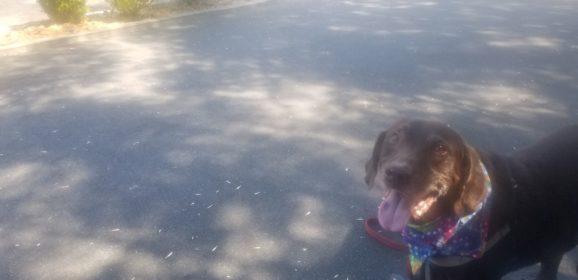 Minutes from being Euthanized, Hershey Dog Bounces Back – Enjoying Quality Bonus Life A Week later