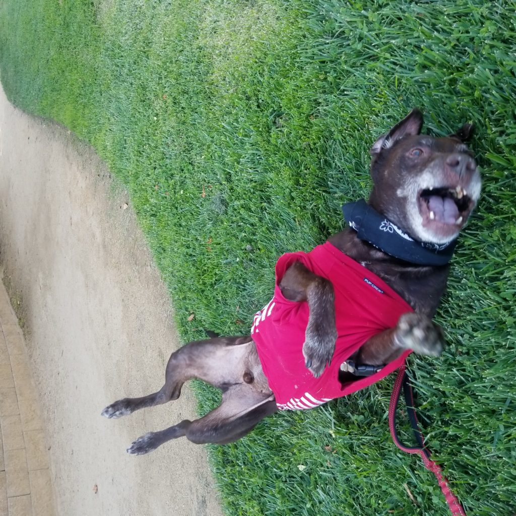 Happy Hershey at Turtle Creek Park rolling in grass