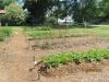 community-garden-5-26-2013-14