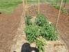 community-garden-5-26-2013-5