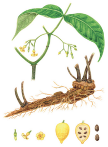 Drawing of green iboga shrub, its light brown root structure, and its yellow fruit cut in half showing brown seeds inside.