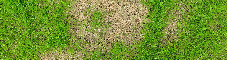 replace-dead-grass