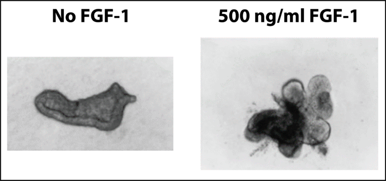 Effect of FGF-1 on cultured lung epithelial cells