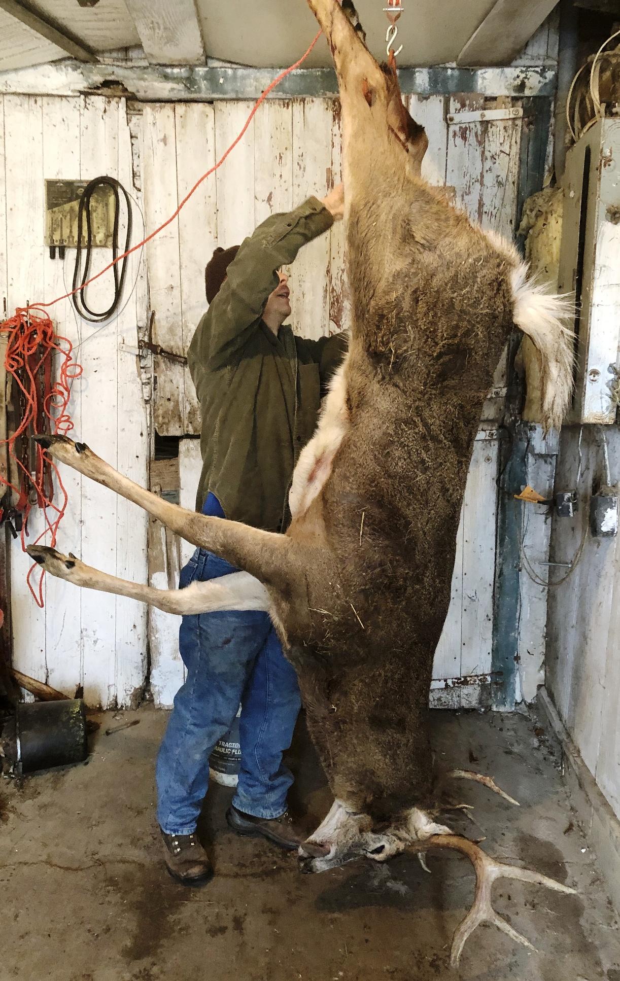 skinning a deer