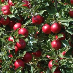 Red Barn Market Lowell MI U Pick Michigan Apples