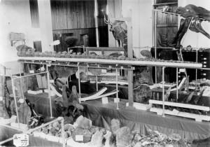 Interior of the University of Wyoming Museum - Dinosaur Tail