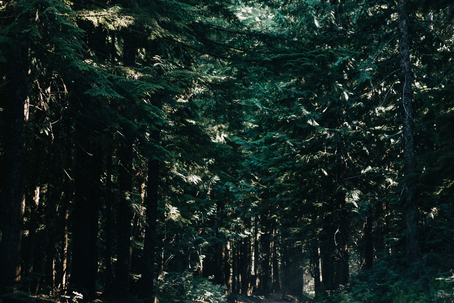 Image of green pine trees in Portland