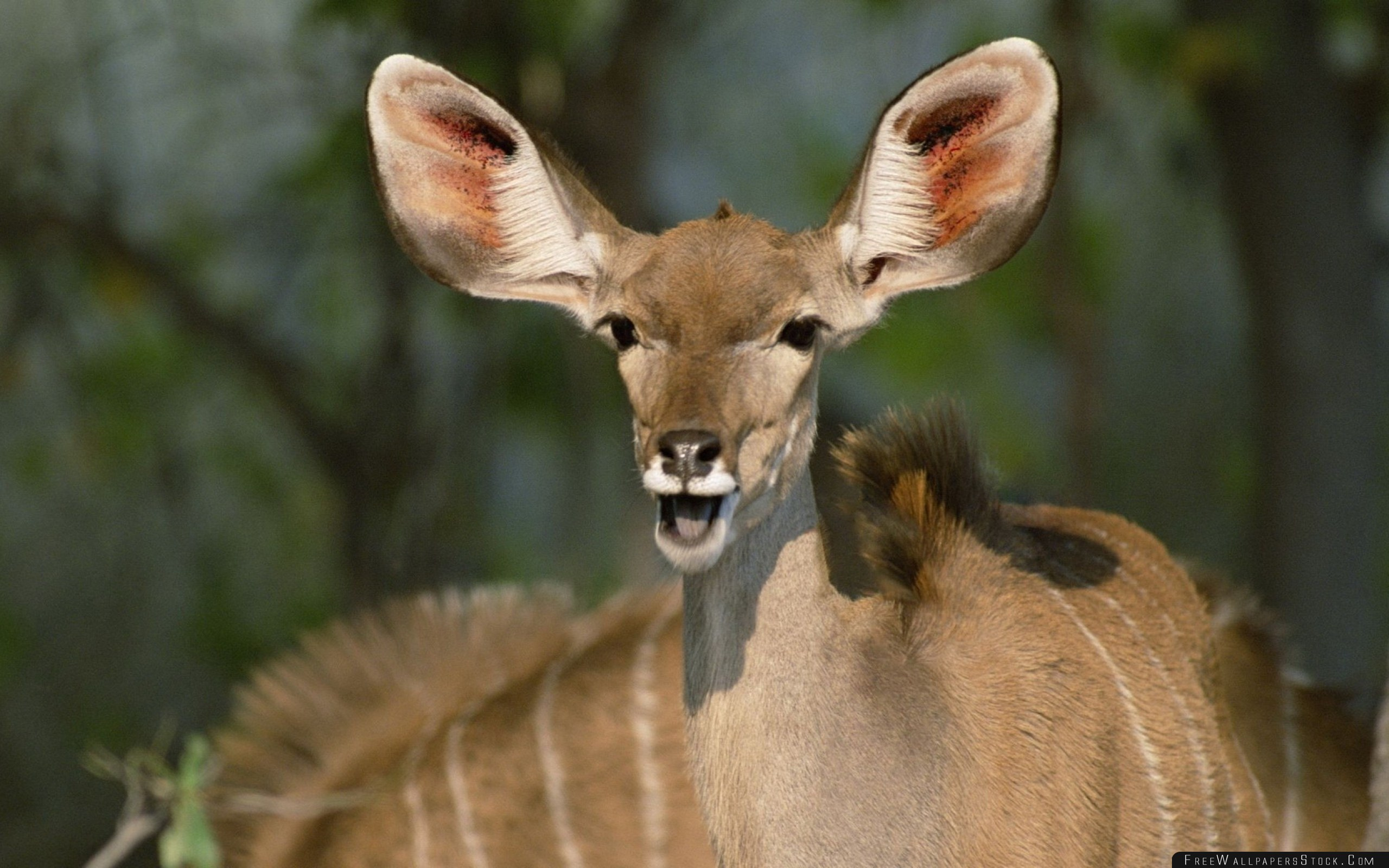 Download Free Wallpaper Antelope Ears Patches Muzzle Beast