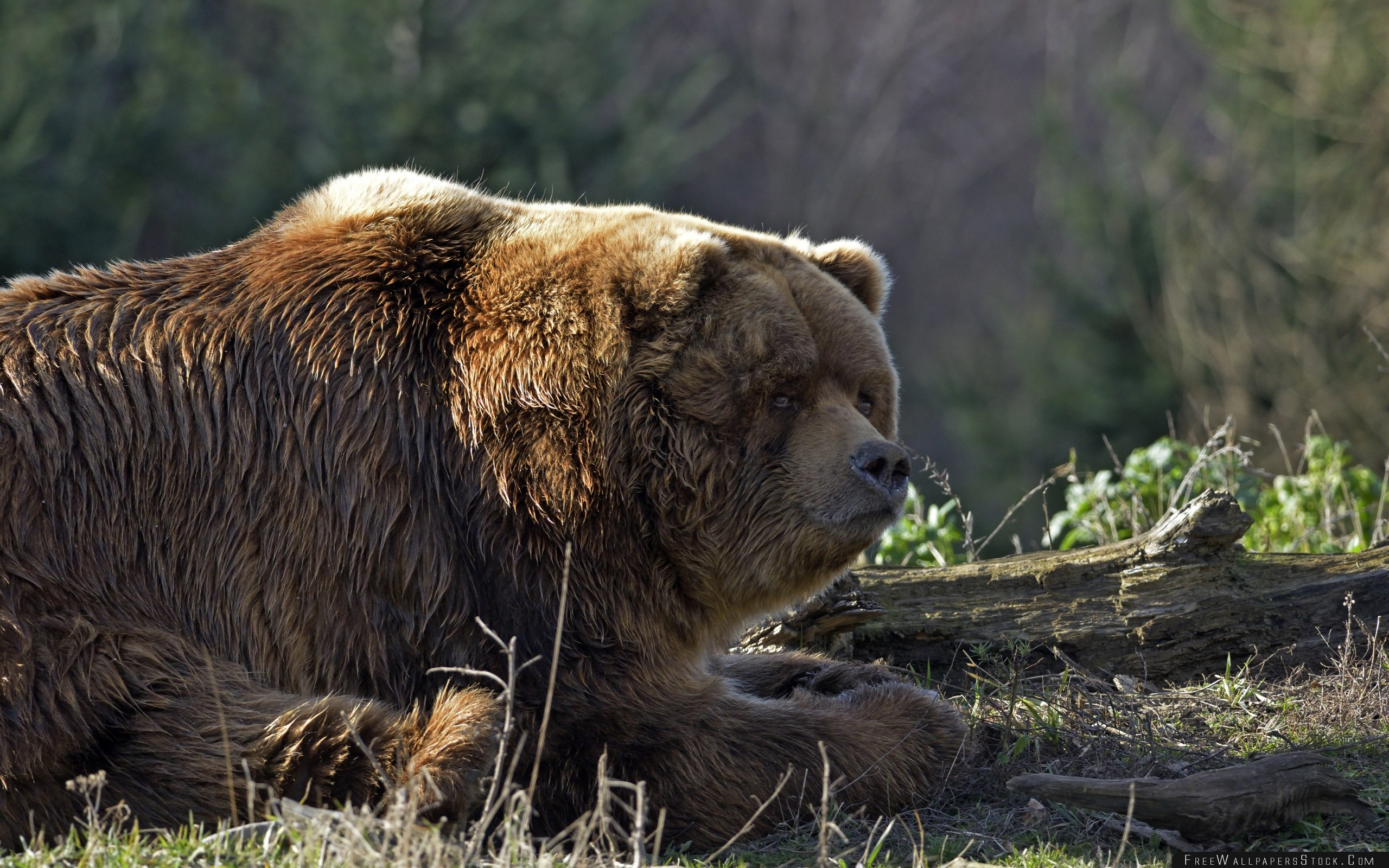 Download Free Wallpaper Bear Timber Thick Lying