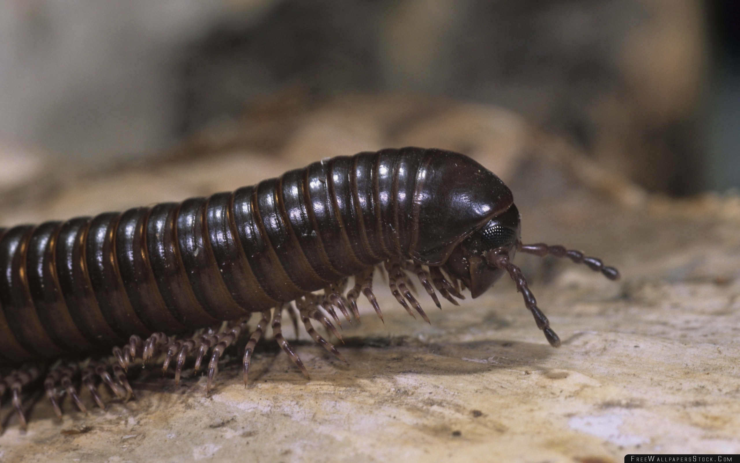 Download Free Wallpaper Centipede Close   Face