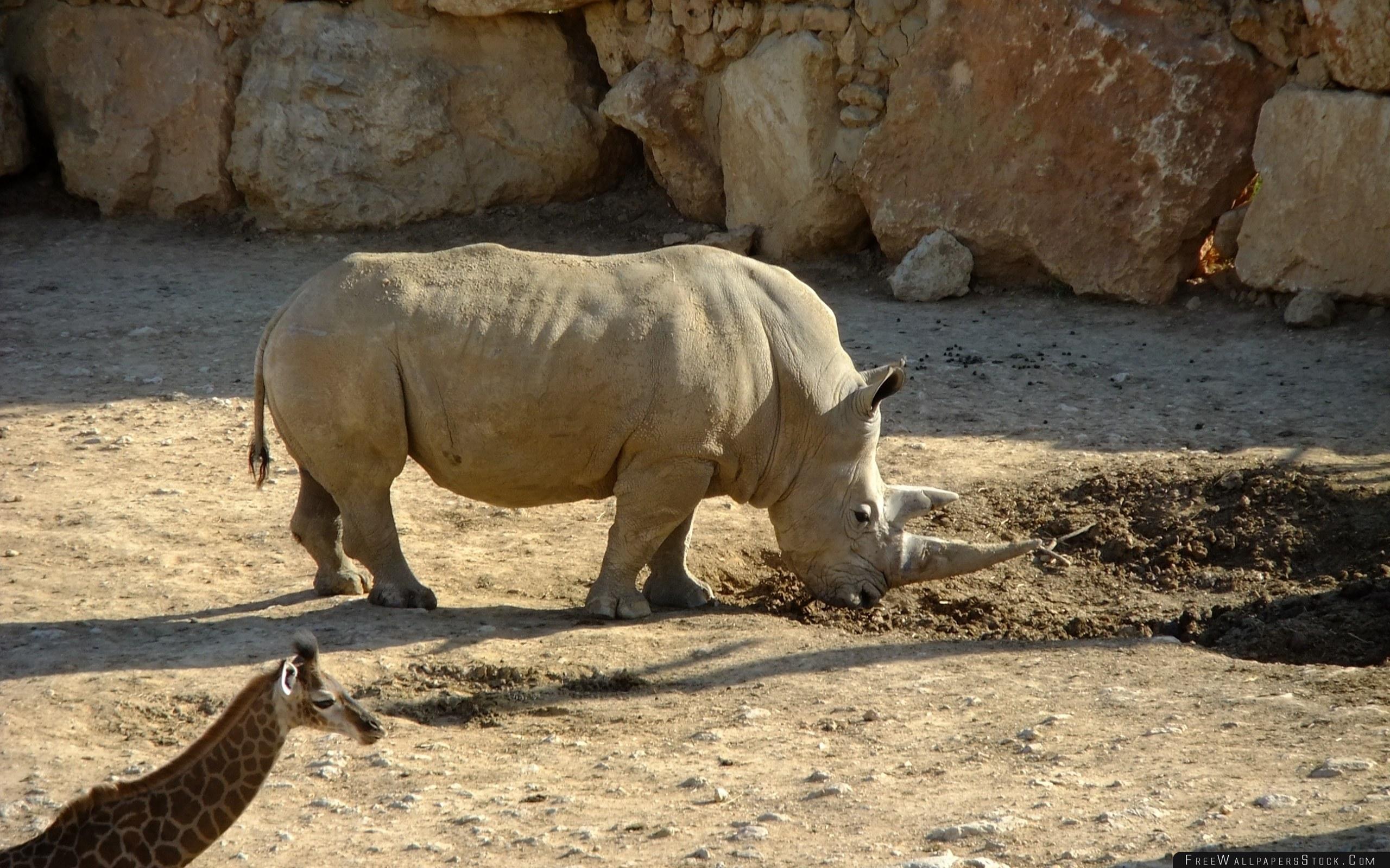 Download Free Wallpaper Dirt Rhino Giraffe Nature Reserve