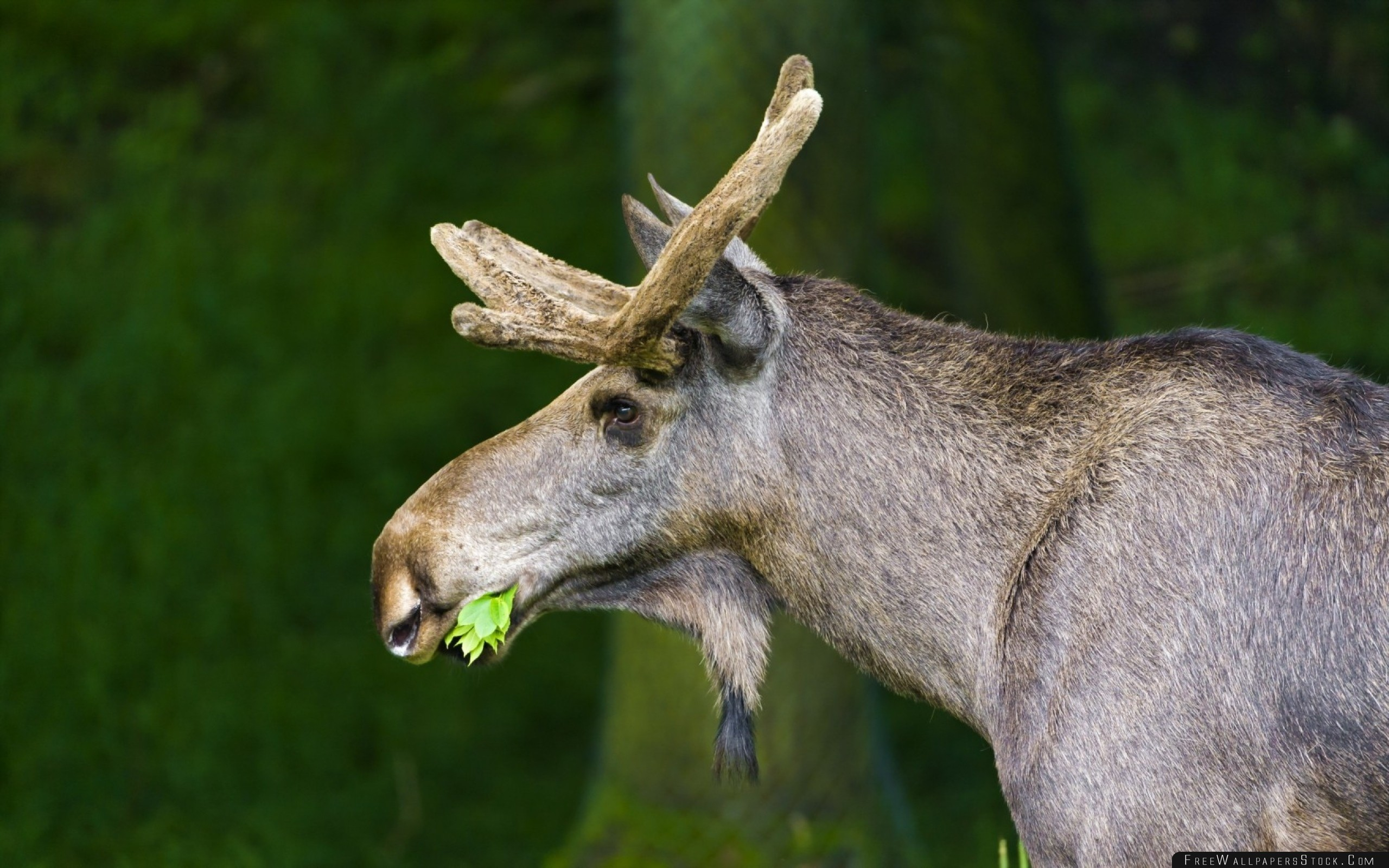 Download Free Wallpaper Moose Nature Background Grass