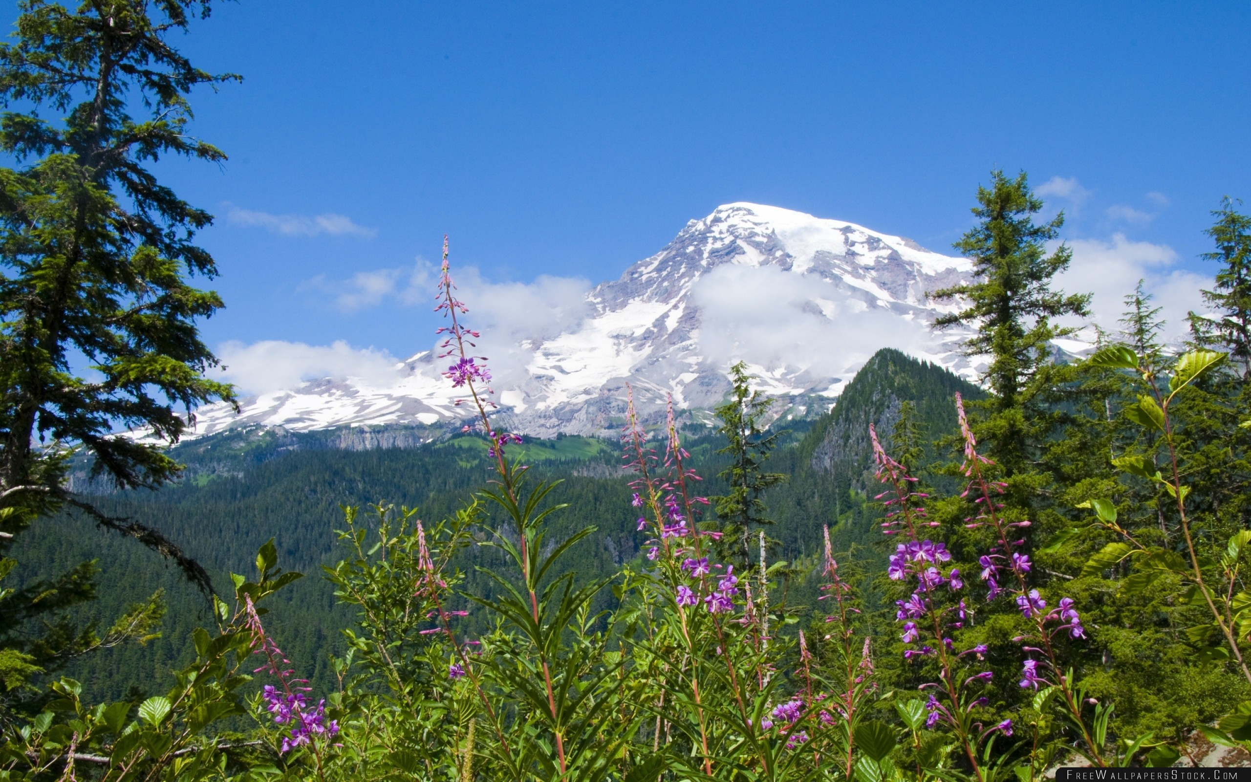 Download Free Wallpaper National Park Mount Rainier Flowers Forests Mountains