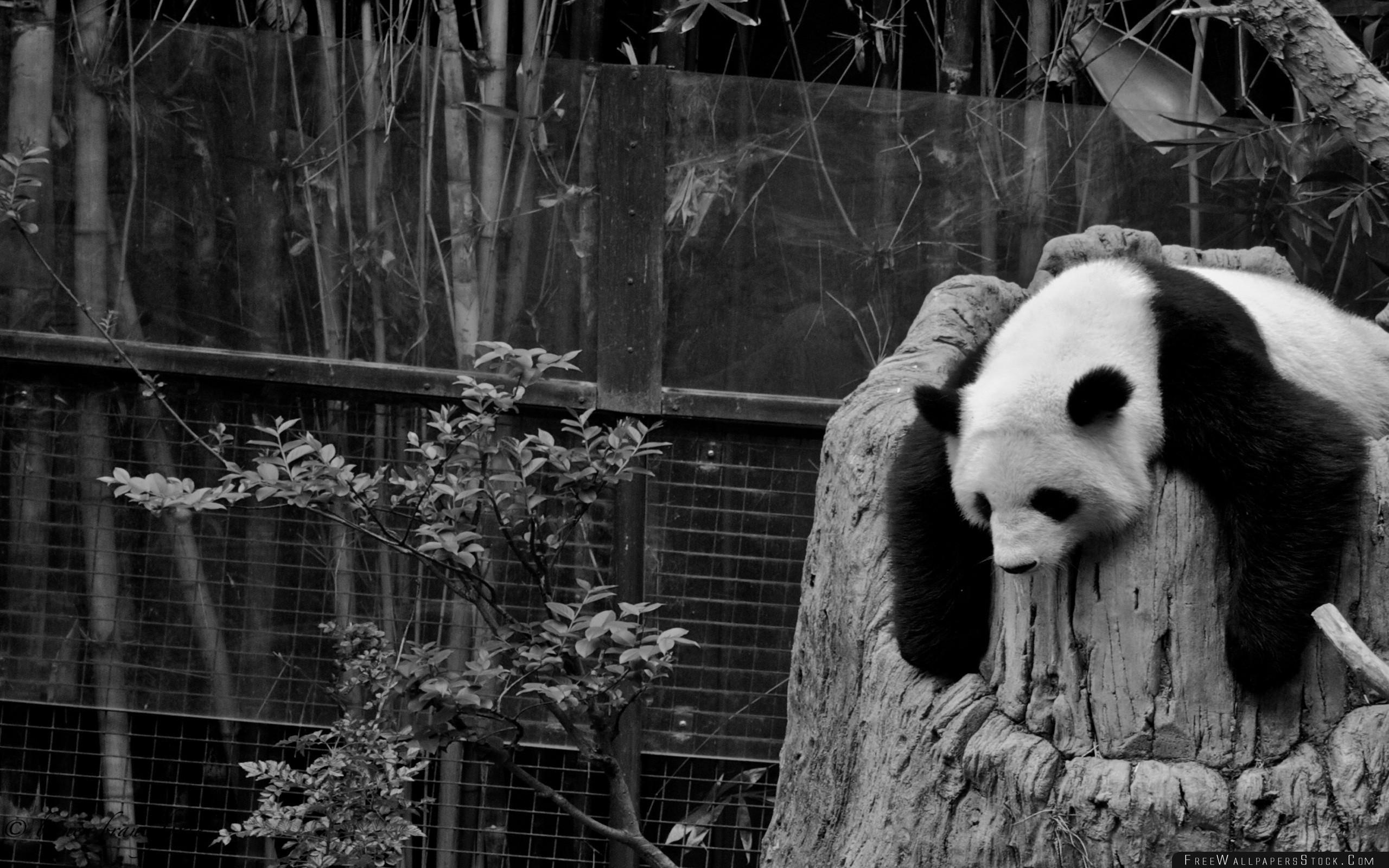 Download Free Wallpaper Panda Sleep Nature Reserve Hollow Black White