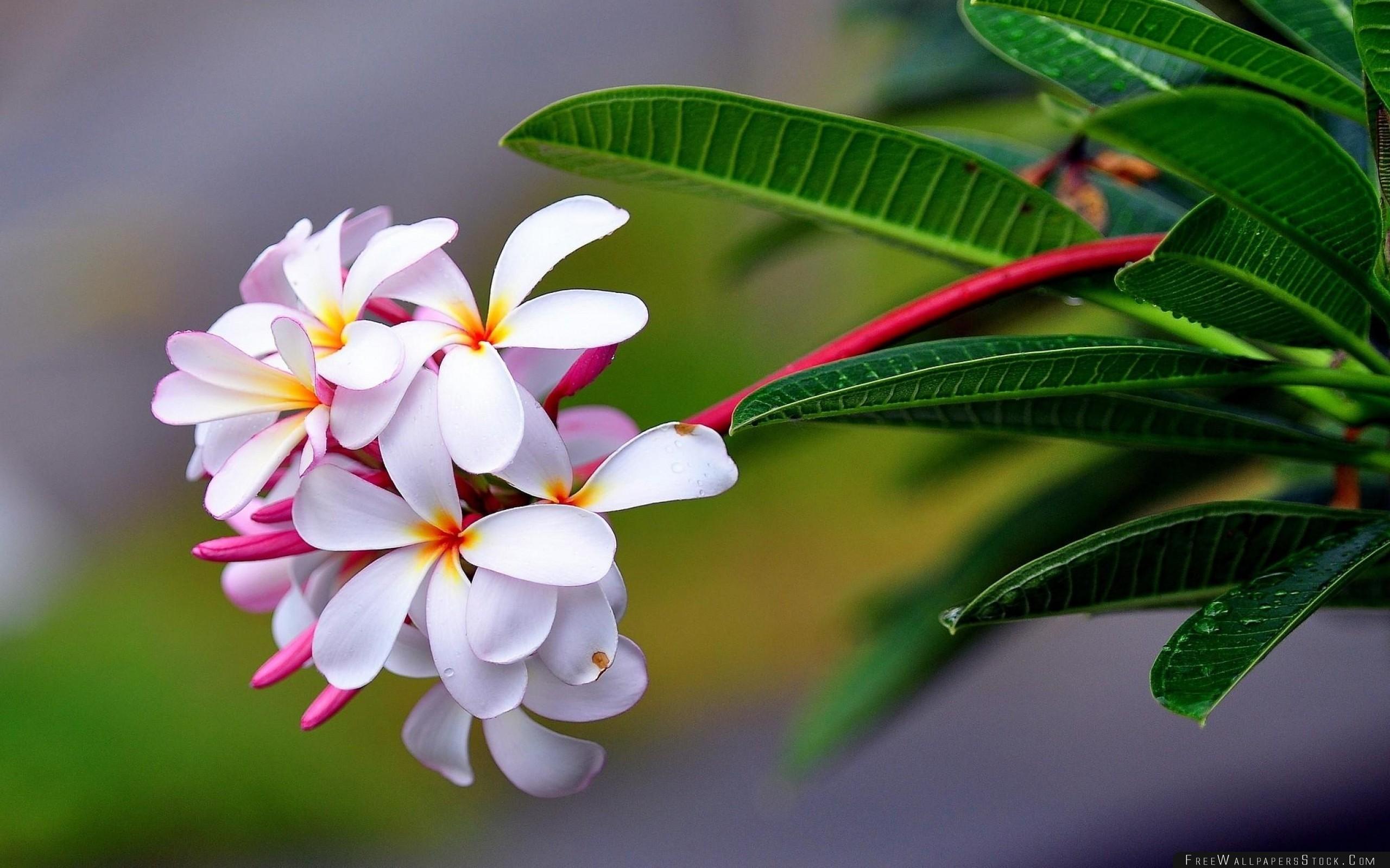 Download Free Wallpaper Plumeria Exotic Drop Freshness Sharpness