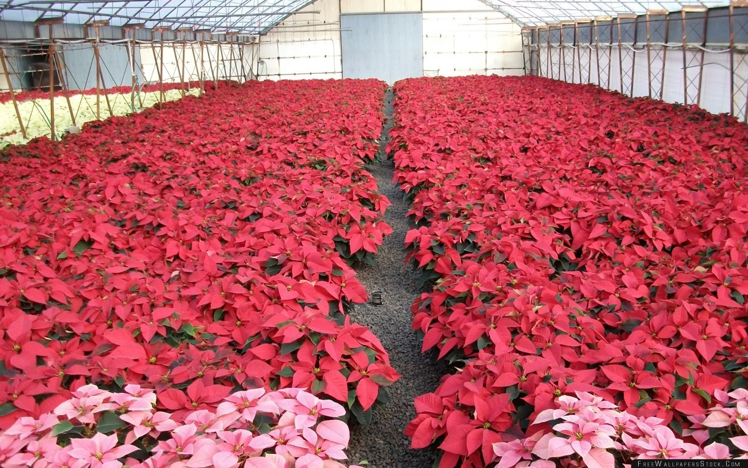 Download Free Wallpaper Poinsettia Flowers Much Brighter Greenhouse