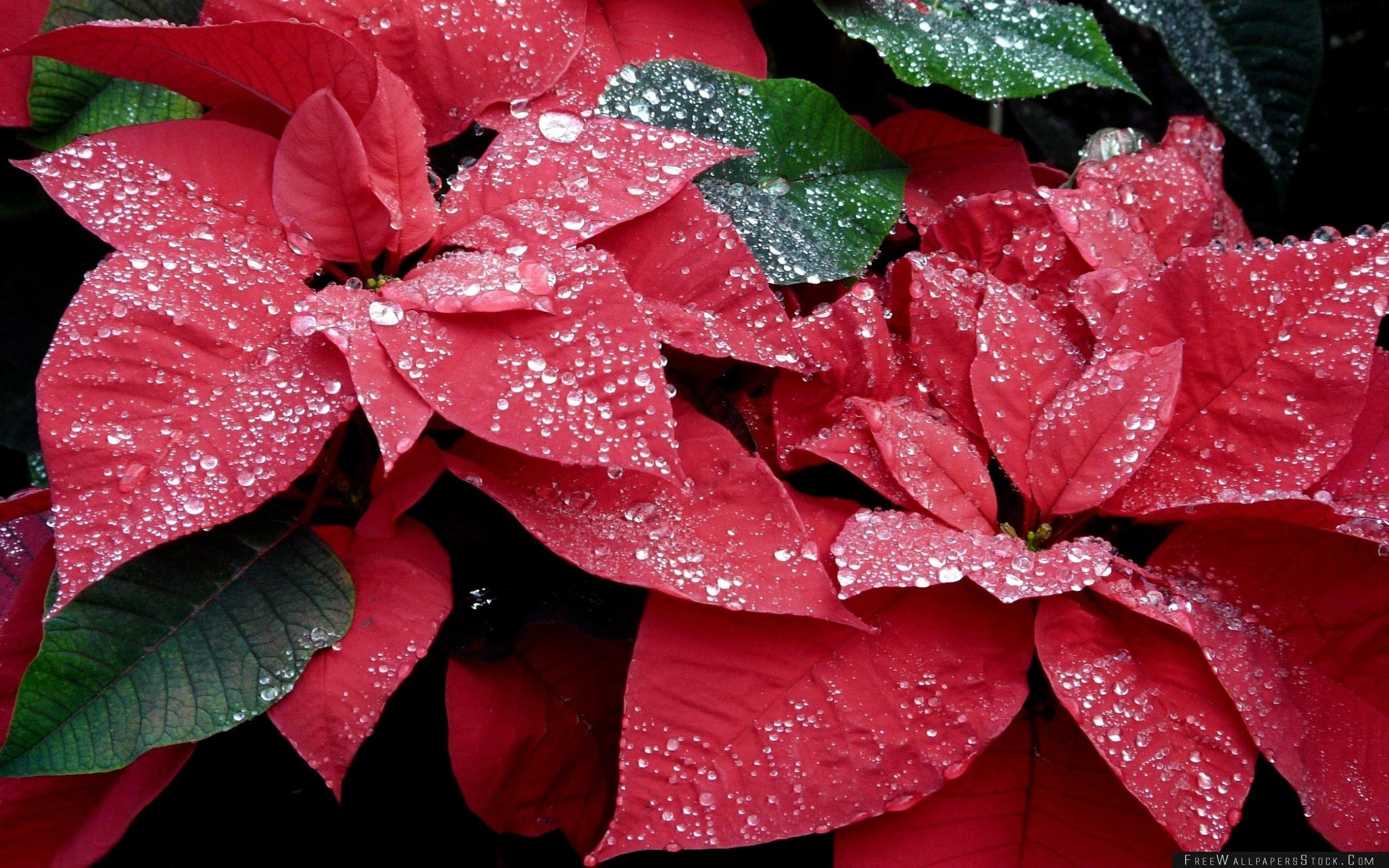 Download Free Wallpaper Poinsettia Flowers Red Drop Freshness Close