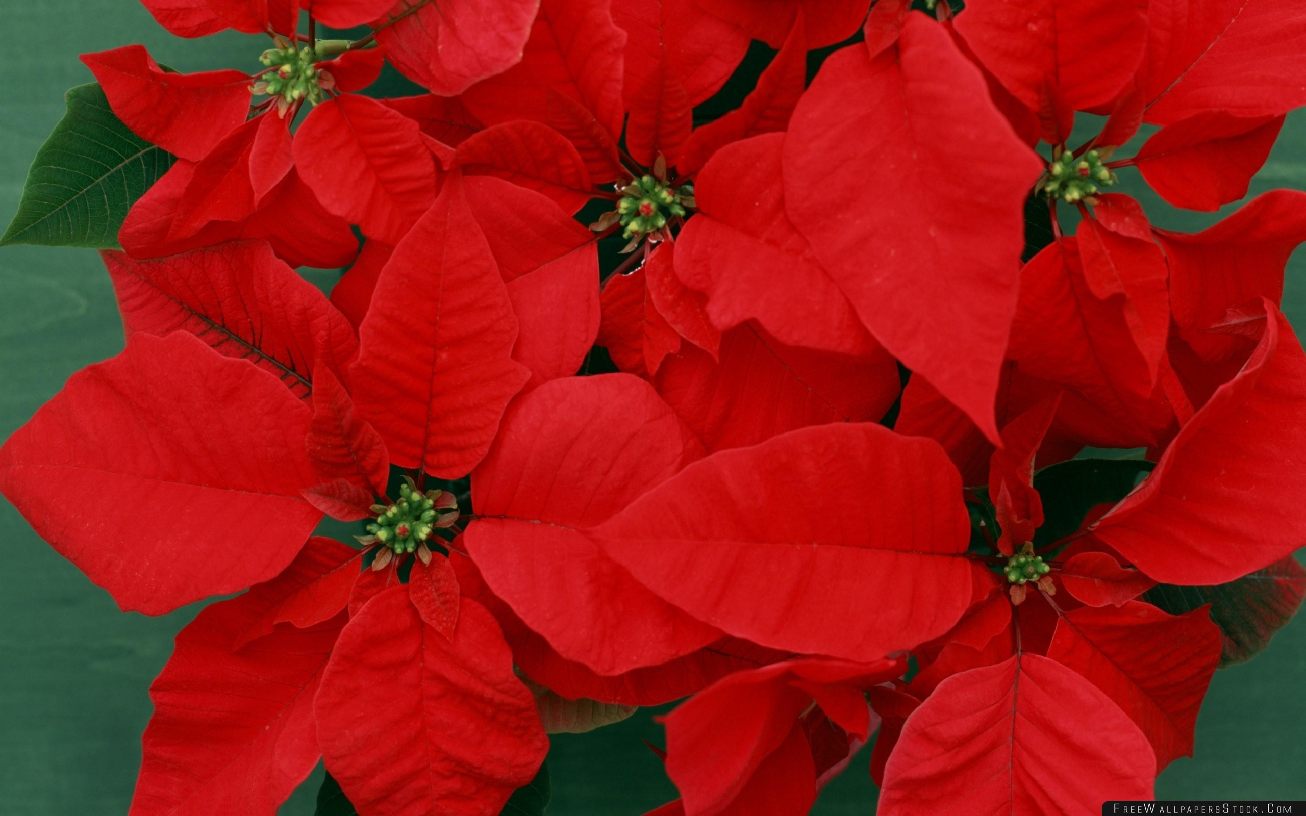 Download Free Wallpaper Poinsettia Flower Bright Red Close