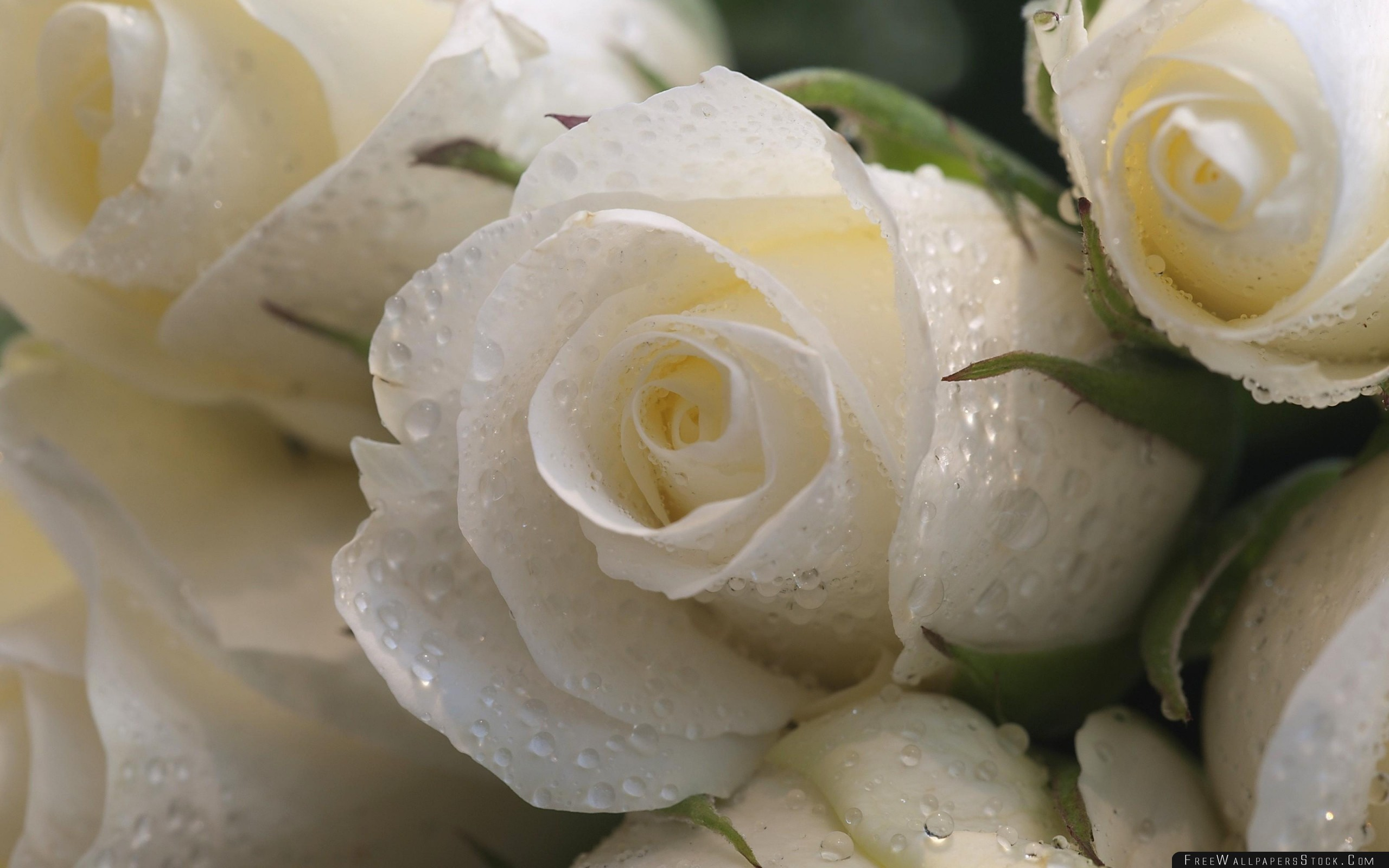 Download Free Wallpaper Roses Flowers Buds Drop Freshness