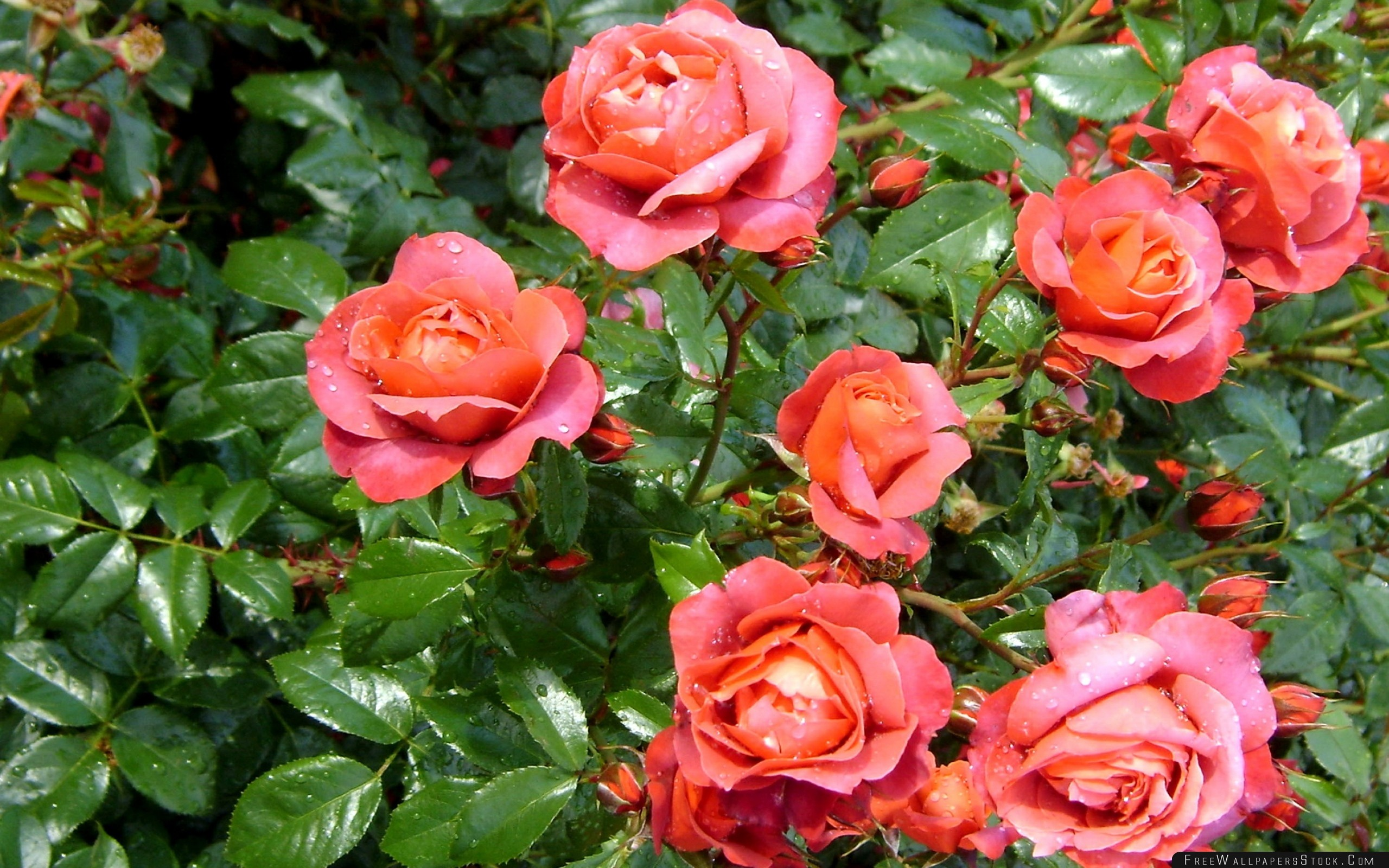Download Free Wallpaper Roses Flowers Bushes Drop Freshness Green