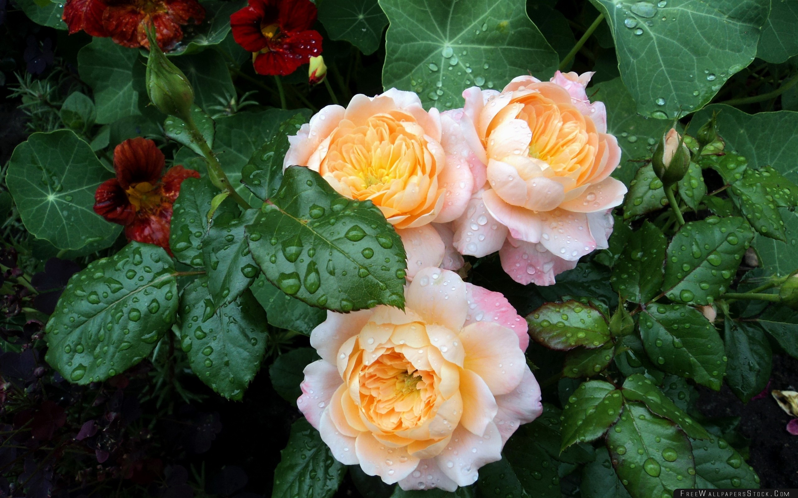 Download Free Wallpaper Roses Flowers Herbs Bushes Drop Freshness