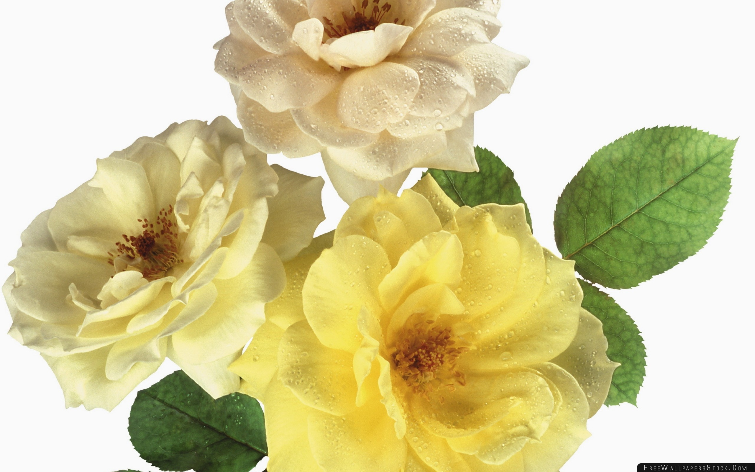 Download Free Wallpaper Roses Flowers Three Loose Drop Freshness