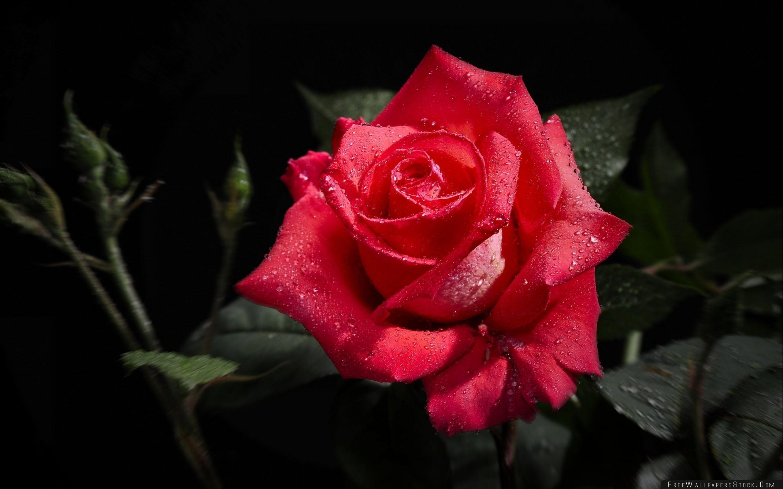 Download Free Wallpaper Rose Flower Bud Drop Freshness Black Background