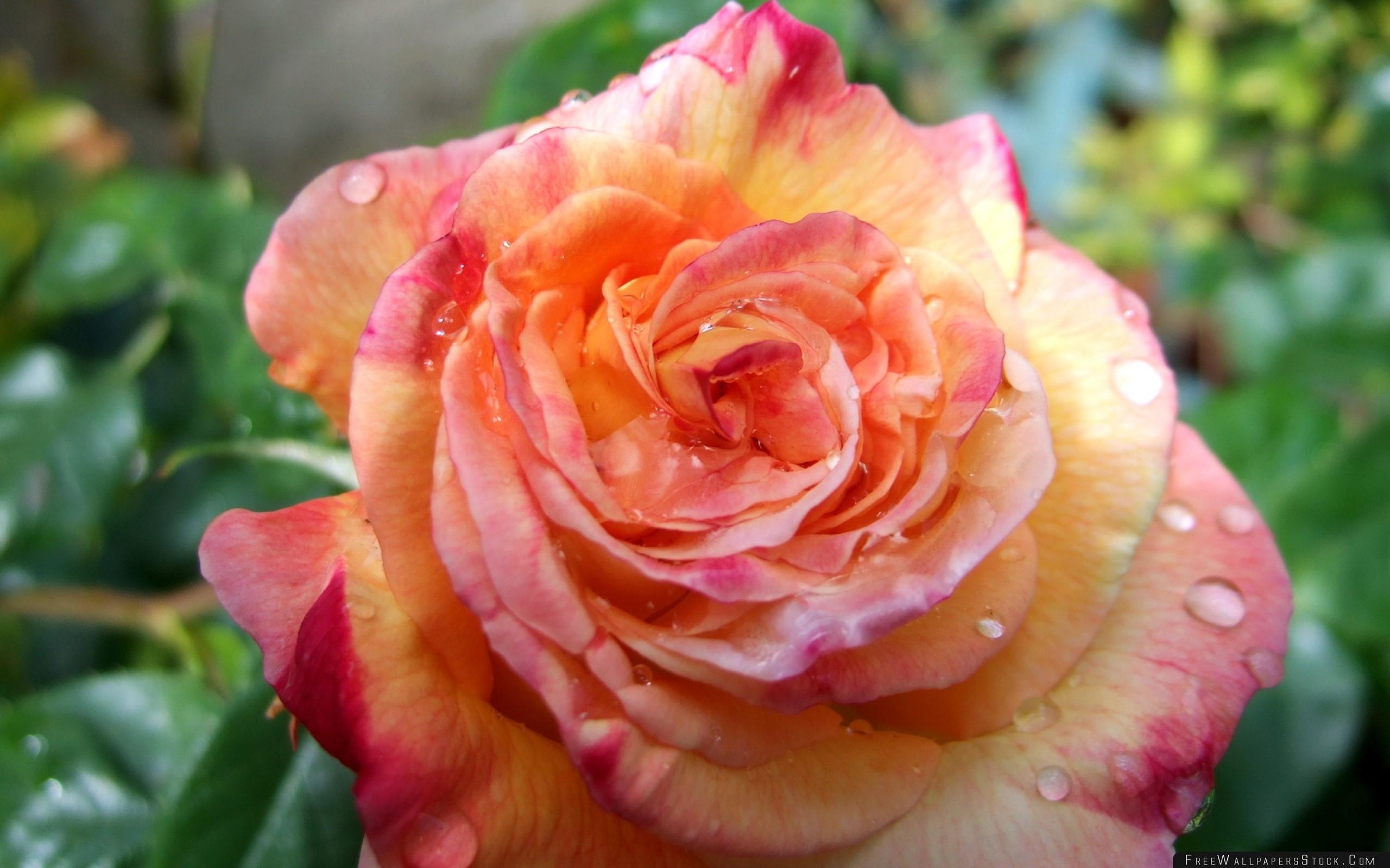 Download Free Wallpaper Rose Flower Bud Drop Freshness Close
